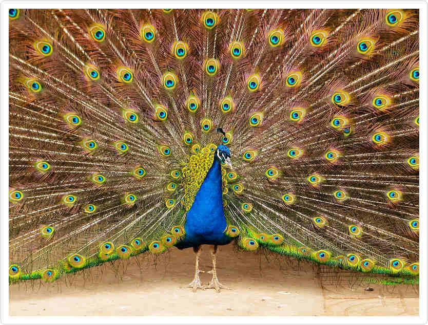 孔雀与树画手绘