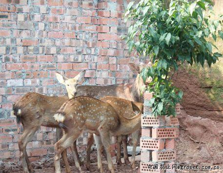 梅花鹿是国家一级保护动
