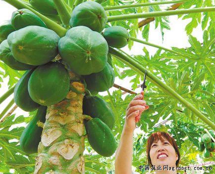 如今,姐弟俩种植的火龙果,杨桃,百香果,番石榴,蜜丝枣等20个进口水果