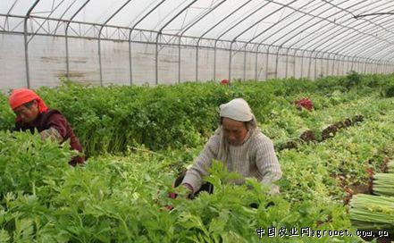 桂河芹菜是寿光市稻田镇桂河岸边特产,由于特殊的土壤和水质,使得桂河