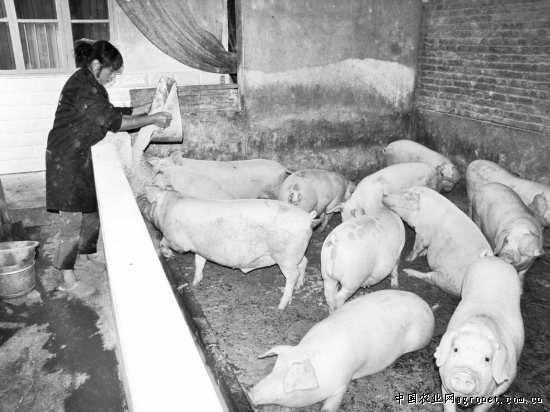 每个猪舍里都有给猪降温的电扇,冲洗的水管,保暖的布帘.