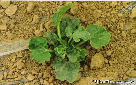 西瓜种子发芽开花简笔画