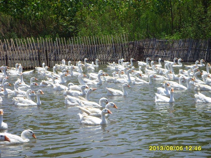 供应大白鹅,鹅,江山市康源种禽场