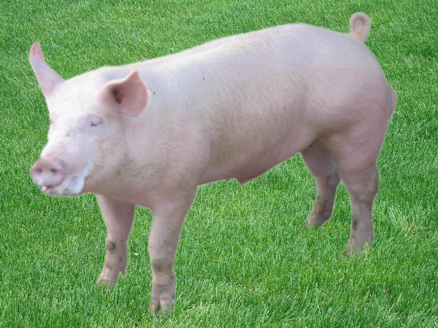 (原创)十二生肖之十二——猪 - 老牛 - 水乡一季·老牛 欢迎您