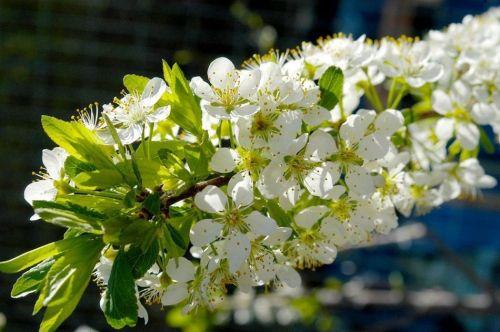 春天开花的水果