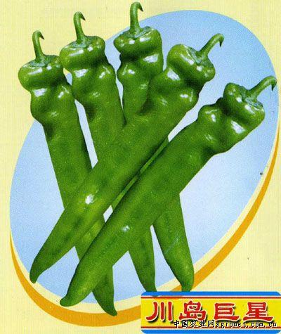 耐寒NH-39—辣椒种子