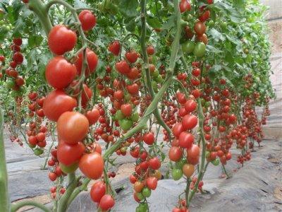 玉禧—抗TY病毒粉果樱桃番茄种子