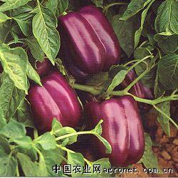 紫泰—甜椒种子