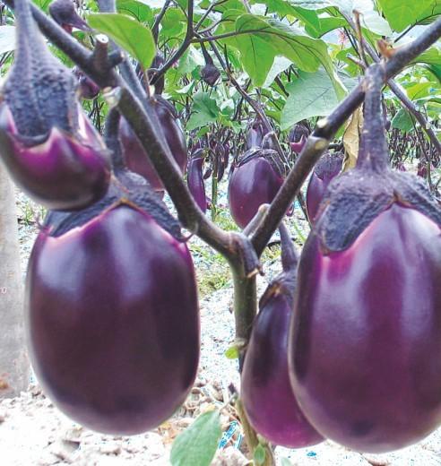 供应早红茄1号f1—茄子.