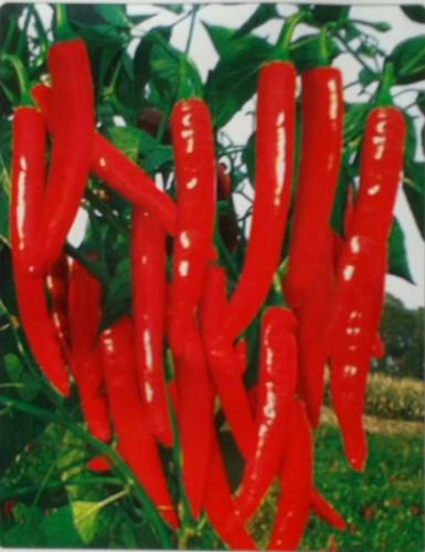 金红—辣椒种子