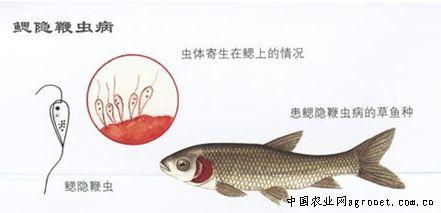 鳃隐鞭虫(图)