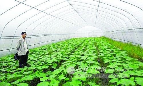 结构调整,发展设施农业种植金豆