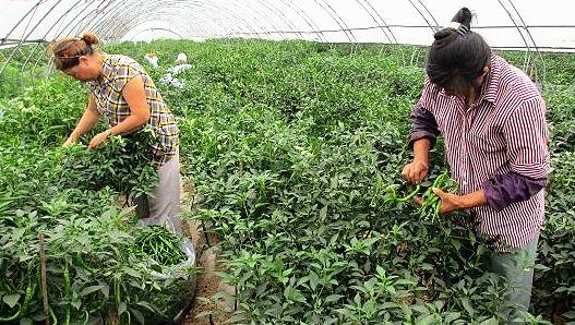 汉中铺镇:蔬菜产业成品牌丰收美景入画来(图)