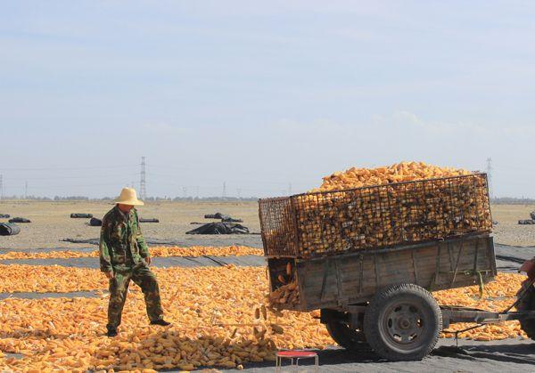 张掖市甘州区明永乡5万亩制种玉米喜获丰收(图)