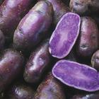 黑土豆种子