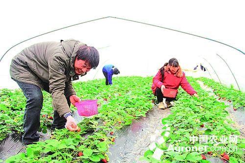 近日下午,当记者来到阜宁县东沟镇何桥村阜益线旁的绿野园家庭农场