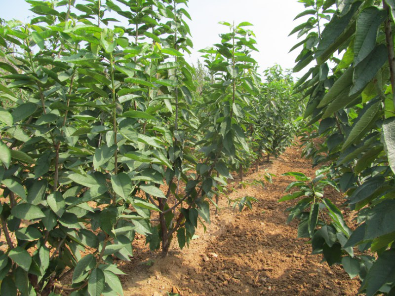 产品介绍美早的主要经济性状:树势强健,树姿半张开,幼树萌芽力、成枝力均强。果实大,果形宽心脏形,大小整齐,顶端稍平。果柄短粗。培育方法不同生长发育时期,树体有不同的生长中心和生长特点,对环境条件和栽培措施亦有不同的要求。满足不同时期的要求,才能达到壮树、高产、优质的目的。其他说明烟台百林苗木种植基地是烟台地区苗木品种最好的繁育基地,主要提供大樱桃砧木,大樱桃果树,大樱桃优质苗木等业务。公司坐落在山东省烟台市福山区东厅街道办事处,是全国著名的大樱桃之乡。公司与烟台农科院专家教授联合引进国内外领先品种,我公司