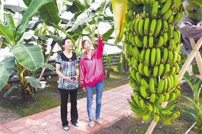 室种植香蕉树成活(图)