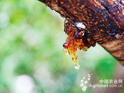 桃树流胶病怎么防治