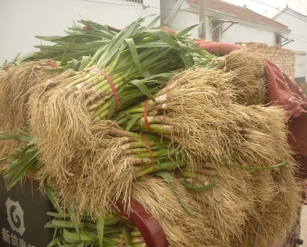 供应蒜苗,蒜苔,蒜头