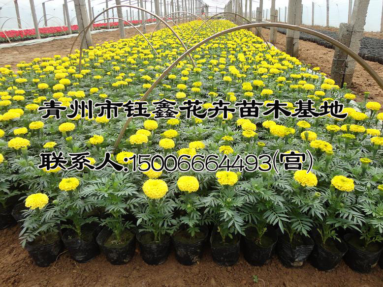 青州市钰鑫花卉苗木基地