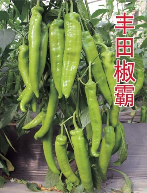 角丰田椒霸椒—辣椒种子