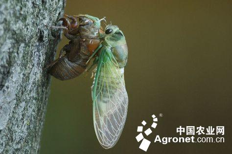 蝉的腹部结构图