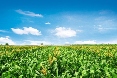 玉米结构调整 计划今年调减1000万亩以上(图)