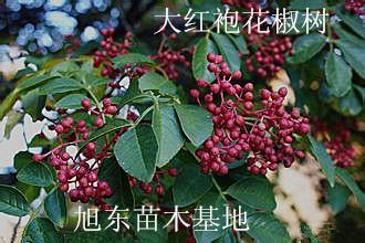 大紅袍花椒樹苗
