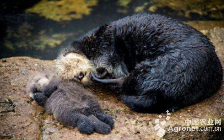 俄罗斯动物界的爱 水獭宝宝在妈妈肚皮上安睡(图)