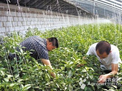 壁纸 成片种植 风景 植物 种植基地 桌面 400_300
