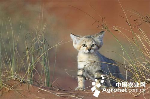 濒临灭绝的天然萌宠:沙猫(图)