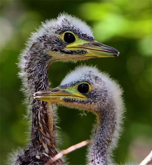 """传说中已经灭绝的""""世界最神秘鸟""""(图)"""