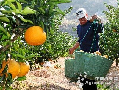 果园内,种植户们穿行在果树间,将摘下来的广柑挑至园外,装袋销售.