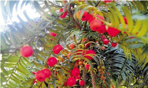 从红豆杉的树皮和树叶中提炼出来的紫杉醇对多种晚期癌症疗效突出.