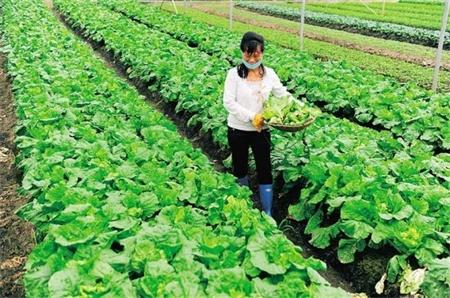 万宁东方洋常年蔬菜基地新菜上市