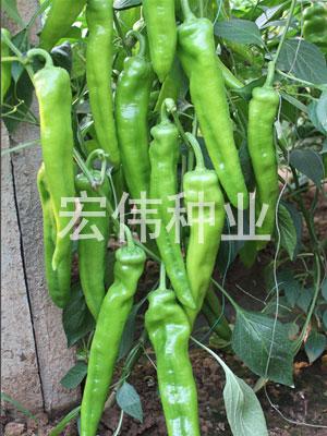 寒秀1617—辣椒种子