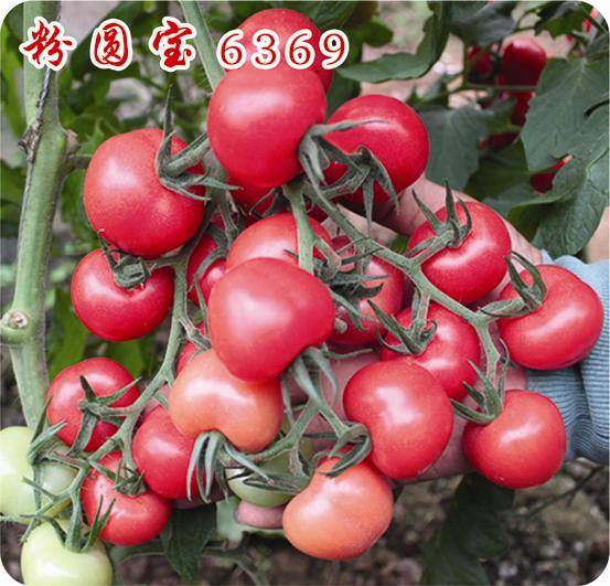 粉圓寶—番茄種子