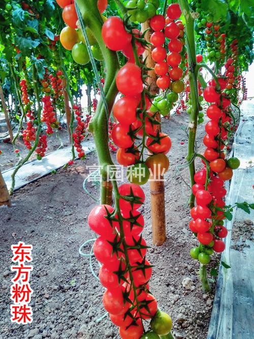 櫻桃番茄種子