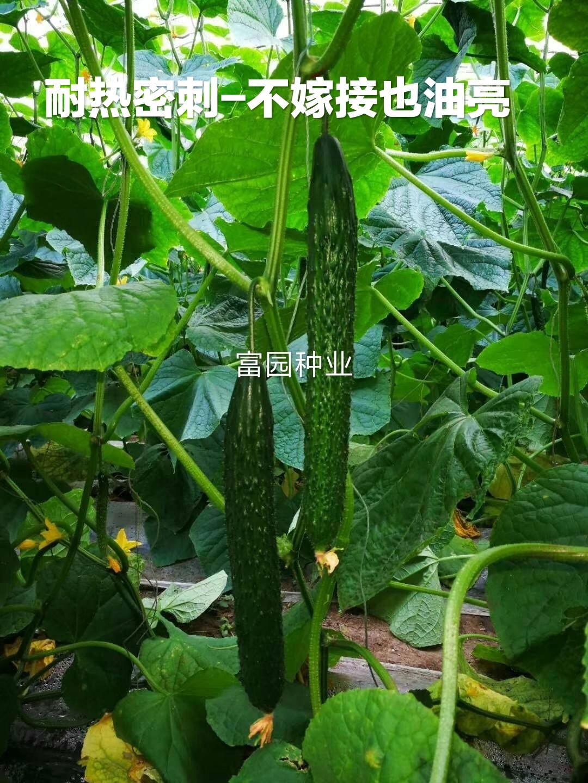 越夏油亮密刺黄瓜种子