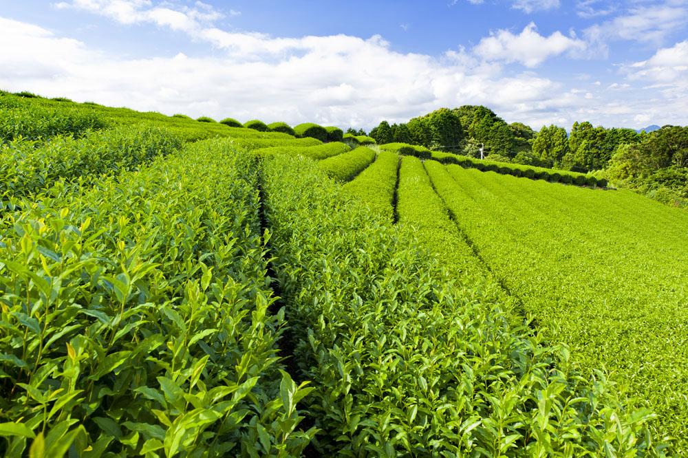 青山茶叶实验农场风景