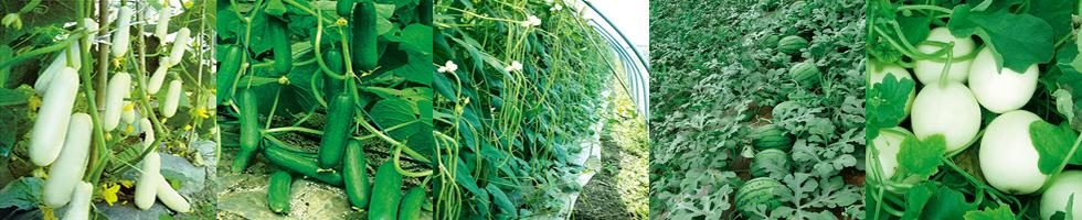 黑大头青菜种植时间和方法图片