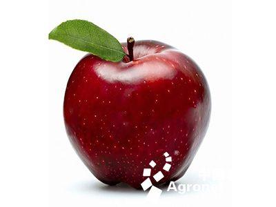 """仇经理自家有100多亩苹果树,今年开始20亩用上了""""赛尔蓓丽""""为核心的不"""