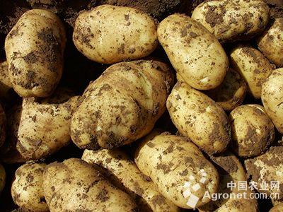 马铃薯内部结构图