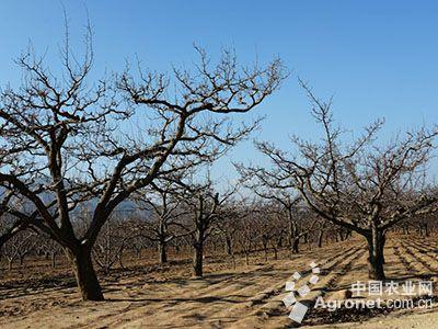 梨树冬季咋清园?(图)