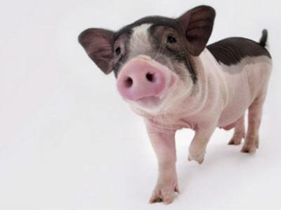猪好冷的图片可爱