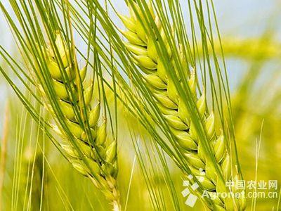 华北平原小麦根际微生物分布研究获进展