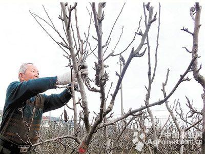 梨树冬季施肥如何选肥?(图)