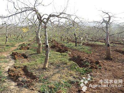 解答:苹果园春季施肥的方法不可轻视,上年秋季没有施肥的果园,果树