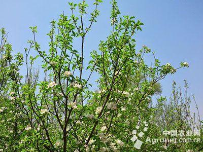 苹果树夏季如何修剪?(图)